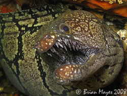 """Dont mess with me!""............................ A snarling Mosaic Moray (Gymnothorax prionodon)<><><><>Canon G9"